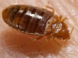 disinfestazione insetti cimici dei letti bologna e modena