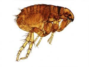 disinfestazione insetti pulci bologna e modena
