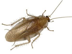 disinfestazione insetti supella longipalpa bologna e modena