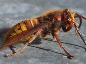 disinfestazione insetti vespe e calabroni bologna e modena