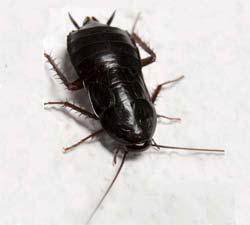 disinfestazione insetti blatta nera scarafaggio bologna e modena