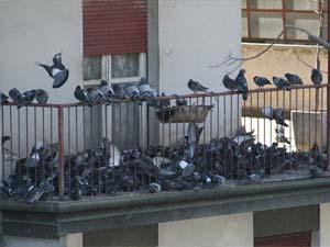 infestazione di piccioni
