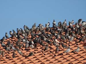 colonia di piccioni