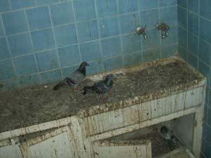 guano piccioni